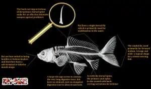 koi fish anatomy 1