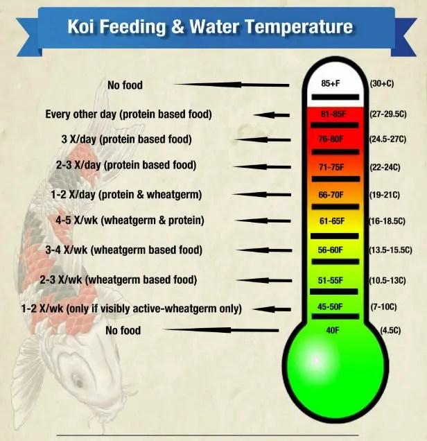 koi feeding 2