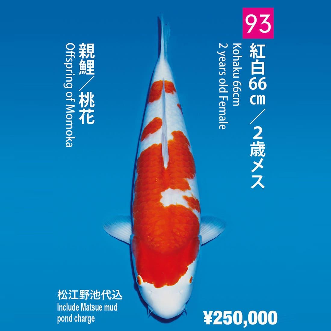 立鯉會2018/松江產紅白 2歲母魚限量銷售108條(ページ8)