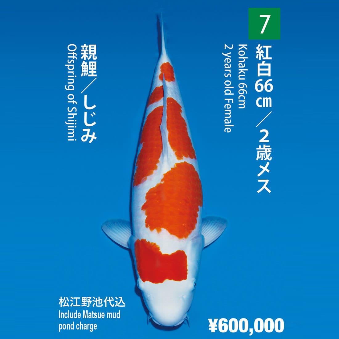 No.007紅白66㎝/2歳母魚