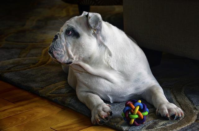 インターホンにあわせて知育玩具を与えられた犬