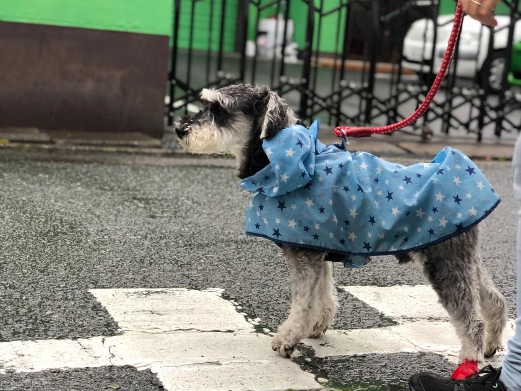 雨の日の散歩で服をきる犬