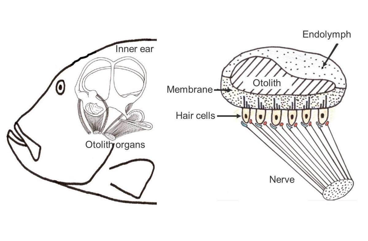 Studying Fish Ear Bones
