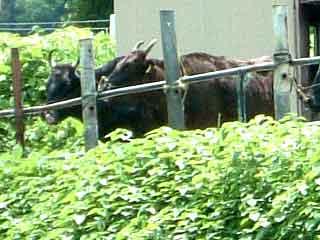 【たじまる】 香美町の風景1-但馬牛