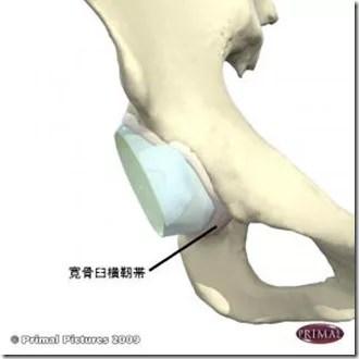 股関節痛み原因治療 寛骨臼横靭帯(前)