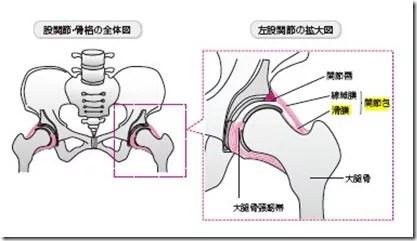 股関節の解剖滑膜