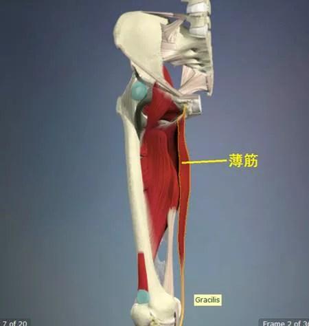 薄筋の解剖