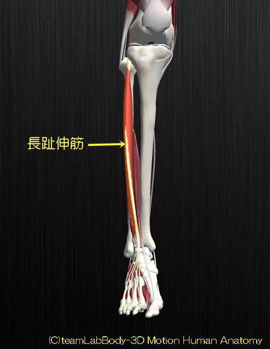 長趾伸筋解剖図イラスト1