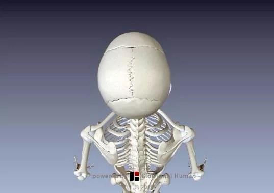 鋸状縫合頭蓋骨