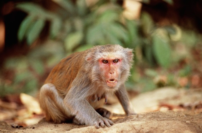 Unbelievable! Man Stoned To Death By Monkeys 1