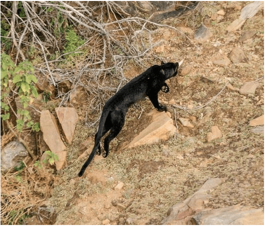 Wakanda Exists? Black Panther Spotted In Kenya For The First Time In 100 Years 3