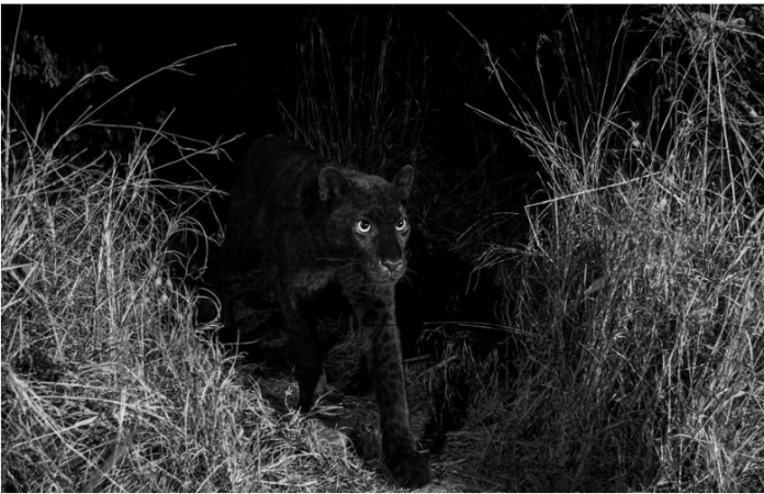 Wakanda Exists? Black Panther Spotted In Kenya For The First Time In 100 Years 2