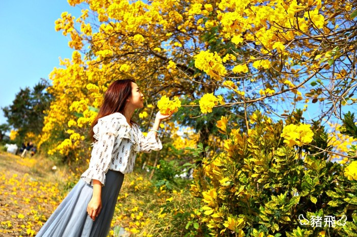2020黃花風鈴木|初春最美風景的黃金花海盛開!嘉義台中三處景點分享來了!