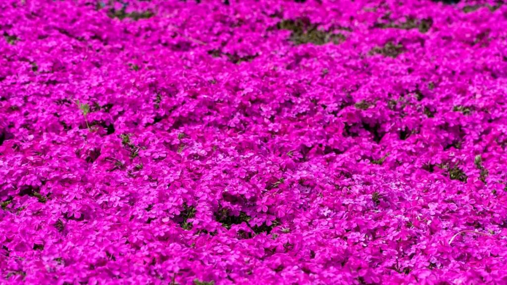 あぐりの丘の満開の芝桜