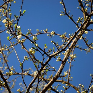 First Spring Messengers 2014 2 © Stefanie Neumann - All Rights Reserved.