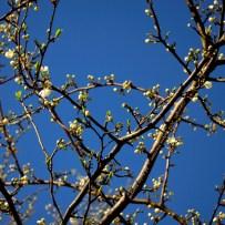 First Spring Messengers 2014 7 © Stefanie Neumann - All Rights Reserved.
