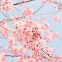きれいな桜の花の画像