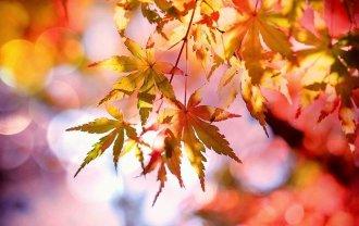 紅葉した楓(カエデ)の葉っぱの画像