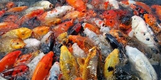 cara memijahkan ikan mas