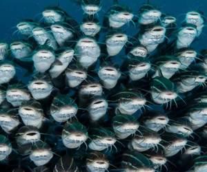 ikan-lele