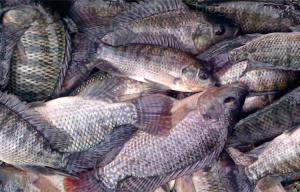 PENTING! Ini Analisa Usaha Ternak Ikan Nila! 2