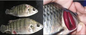 Penyakit ikan nila