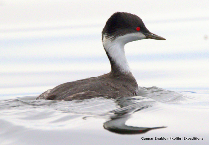 Close up of Junin Grebe Podiceps taczanowskii. Photo Gunnar Engblom