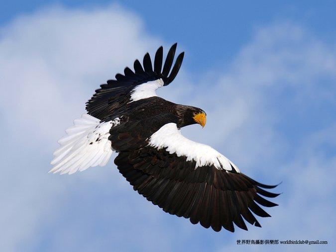 Stellar's Eagle Hokkaido Japan. Winter birding