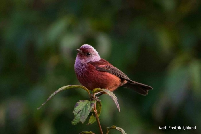 pink headed warbler-002