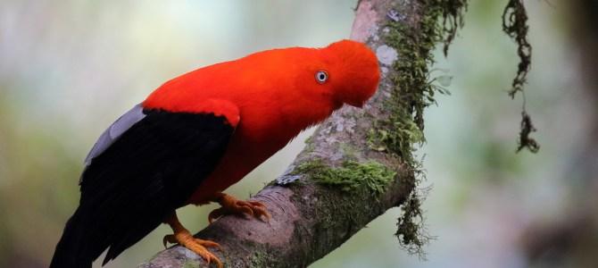 Birding Peru Anytime!