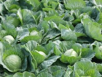 Простий натуральний розчин, який убереже капусту від шкідників