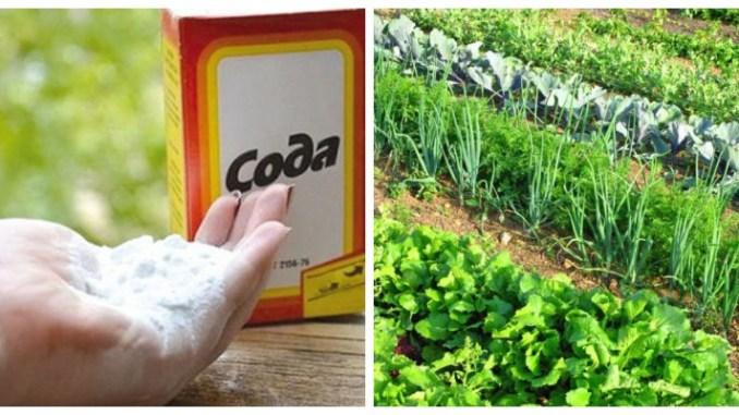 СОДА — порятунок для вашого городу! Харчова сода - підгодівля для: огірків, помідорів та інших рослин