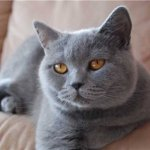 Картезианские кошки (шартрез)
