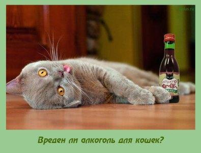 что будет если кошке дать алкоголь