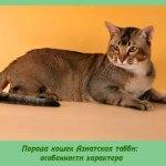 Порода кошек Азиатская табби: особенности характера
