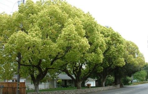 くすのき(Camphor tree)