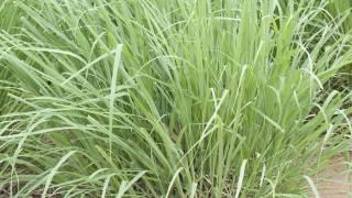 Lemongrass-Plant-11
