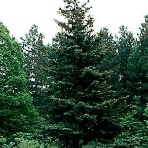 ブラックスプルース(Black spruce)