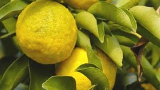 citrus-junos-yuzu-agrume-rare-plant