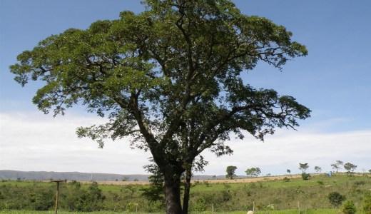 コパイバ(Copaiba)