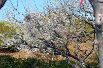 偕楽園に着いて。梅はほぼ満開。皆の顔は、破顔一笑!