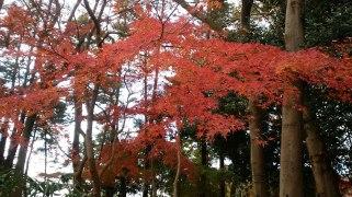 野川緑道の紅葉