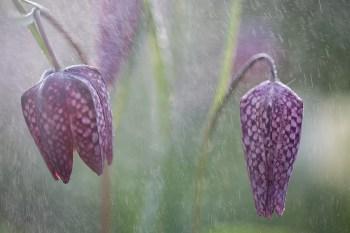 """Frank Brehe """"Fritillaria"""""""