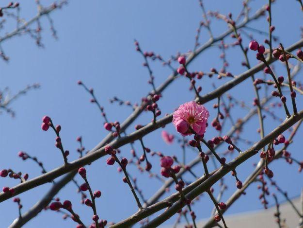 梅の花の写真 2012年2月12日