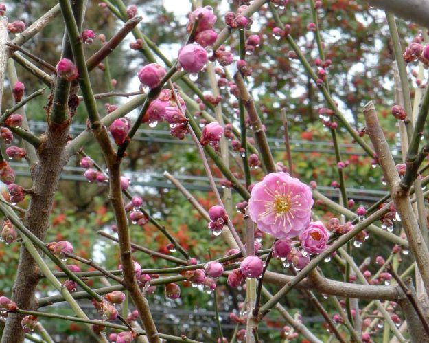 梅の木(鈴木邸)の写真 2012年2月23日