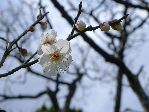 妙泉寺の梅 2013年2月9日