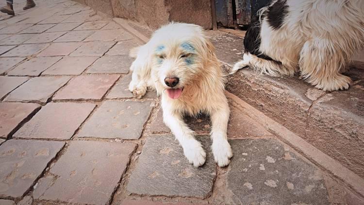 クスコの野良犬。大半はこんな感じの大人しい子達ばかり