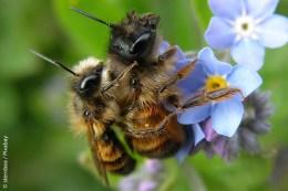 Die Gehörnte Mauerbiene – hier ein Pärchen – ist noch in Süd- und Mitteleuropa weit verbreitet und nimmt gerne künstliche Nisthilfen an. Die zwei Hörnchen am Kopf des größeren Weibchens sind hier namensgebend.