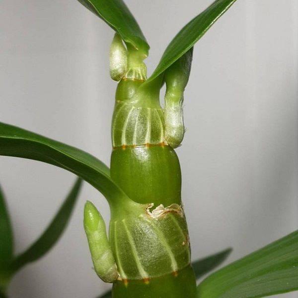 Псевдобульба орхидеи фото капсулы для