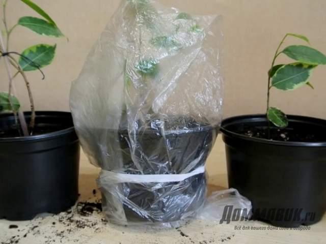 Jak se potulovat Ficus s řízky, bez kořenů, s velkými listy
